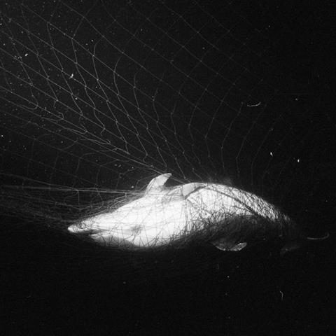 A common dolphin in a net