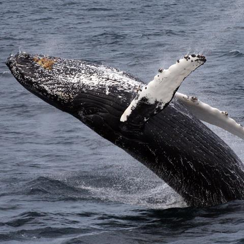 a humpback breaches