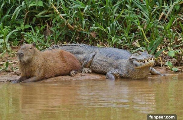 驚!水豚每次趴在地上都會被一大群「烏龜圍困」網友們全看傻了!沒想到背後的「原因」竟然是....