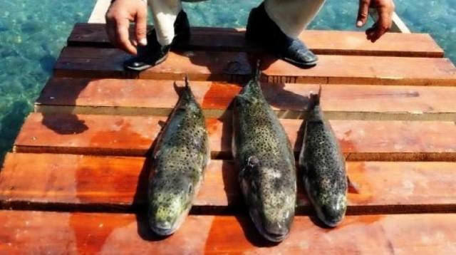 Bodrum'da panik! Bu balığı yiyen kediler öldü