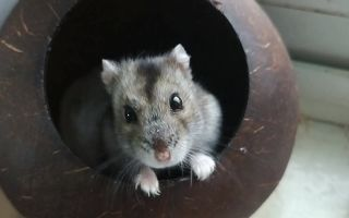 这么可爱的仓鼠 ,想rua它。天冷后,这只沙雕仓鼠奥七知道住窝了