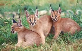 【转】【mhxx】【野兽猫】【斗技大会】【桃毛兽】【6分29秒】【S】猎猫