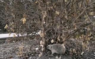 近距离观察一只冬眠刚醒的小刺猬 还有小狗跑来和它玩耍