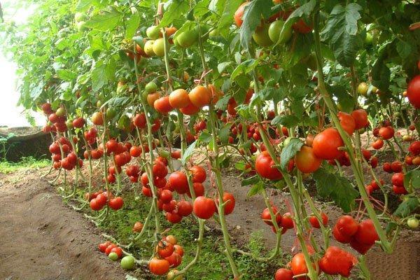 溫室番茄如何栽培?日光溫室番茄栽培技術要點 - 每日頭條