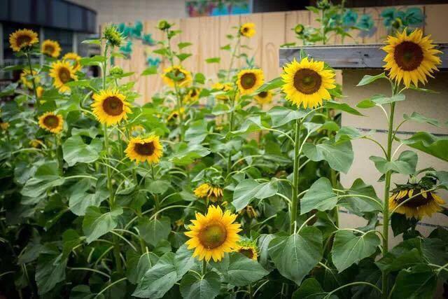 周末去夢田都市農場,在向日葵花叢間尋找到屬於自己的那份快樂 - 每日頭條
