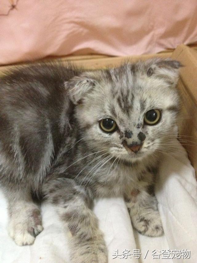 養貓須知:怎樣預防貓咪和主人感染上貓蘚皮膚病 - 每日頭條