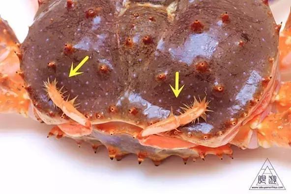 帝王蟹居然不是螃蟹!它還能一次留種上萬的!它們怎麼嘿咻生娃? - 每日頭條