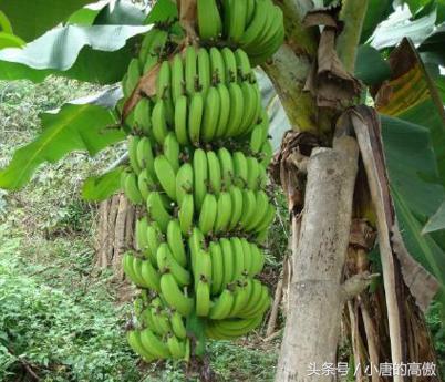 天天吃香蕉,你見過香蕉的種子了嗎?沒有種子,香蕉靠什麼繁殖 - 每日頭條