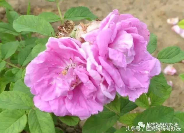 情人節里說說真正的玫瑰 - 每日頭條