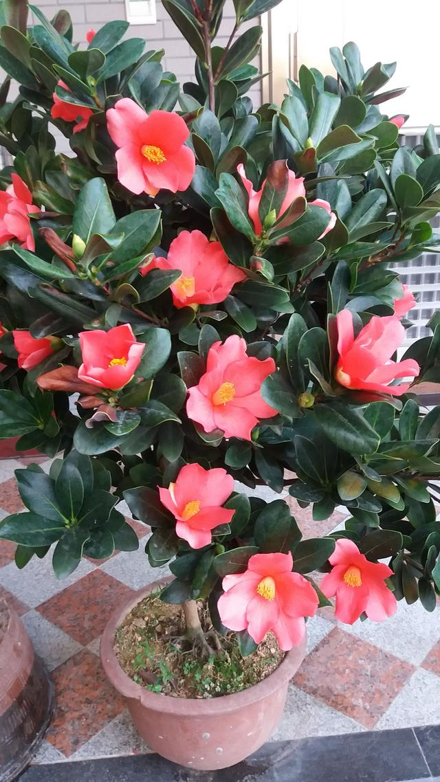花期最長的山茶花,四季開花,花大色艷,觀賞價值高,是盆栽佳品 - 每日頭條