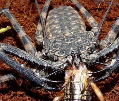 號稱蜘蛛和蠍子的結合體。他就是秒殺螳螂的鞭蛛 - 每日頭條