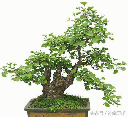 HD限定銀杏 木 - 最高の花の畫像