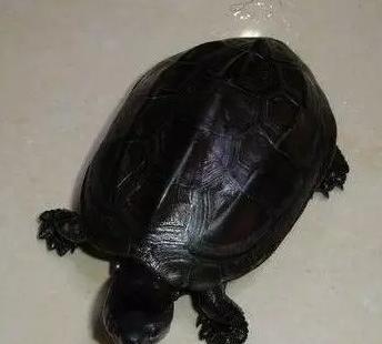 水龜雌雄辨別原則 - 每日頭條