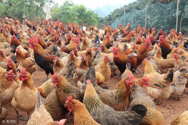 怎樣養雞才能賺錢。養殖雞致富怎麼做? - 每日頭條