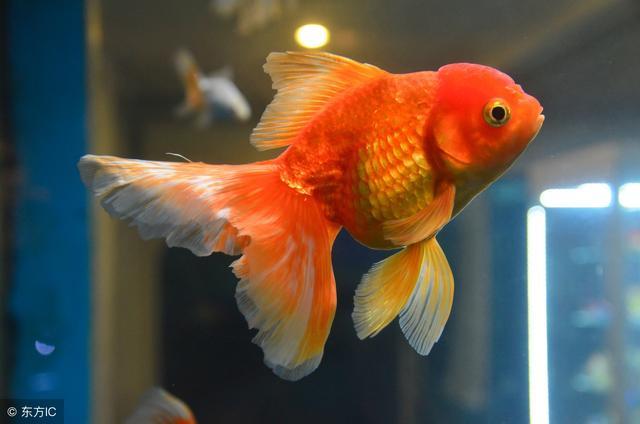 關於金魚的壽命和發育問題! - 每日頭條