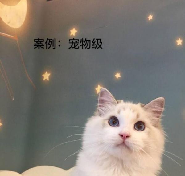 高價布偶貓即將走下神壇? - 每日頭條