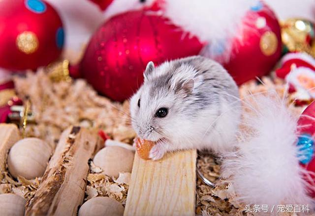 倉鼠怎麼養——倉鼠的日常飼養方法 - 每日頭條