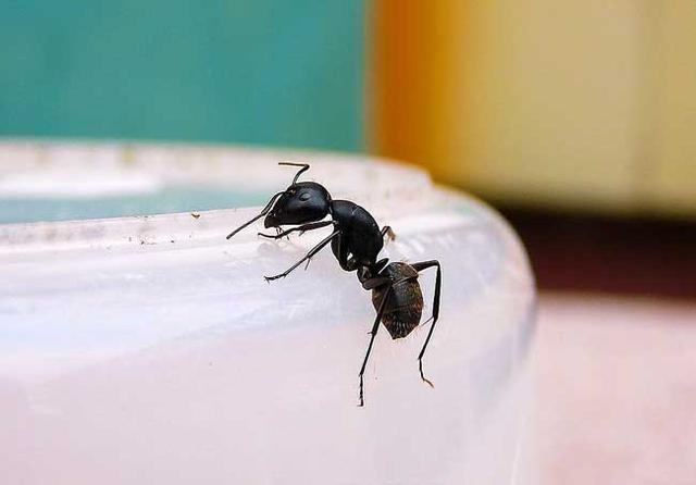 家裡螞蟻多怎麼清除 家裡有螞蟻怎麼預防 - 每日頭條