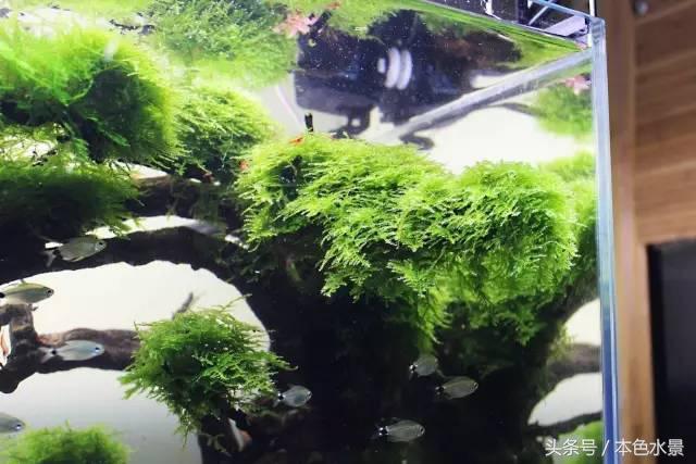 本色水景教你打造。水草造景中一流的莫斯樹景 - 每日頭條
