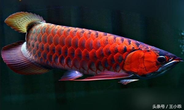 乾貨|紅龍魚和過背金龍魚的飼養方法介紹 - 每日頭條