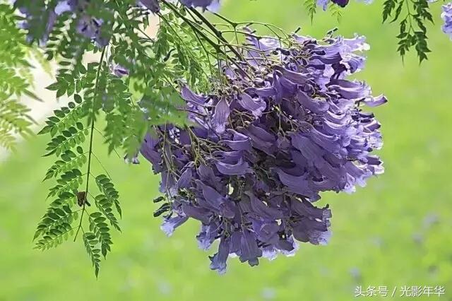攝影:風起紫色雨——藍花楹 - 每日頭條