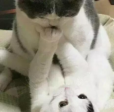 公貓準備親母貓。結果遭到母貓全力拒絕…… - 每日頭條
