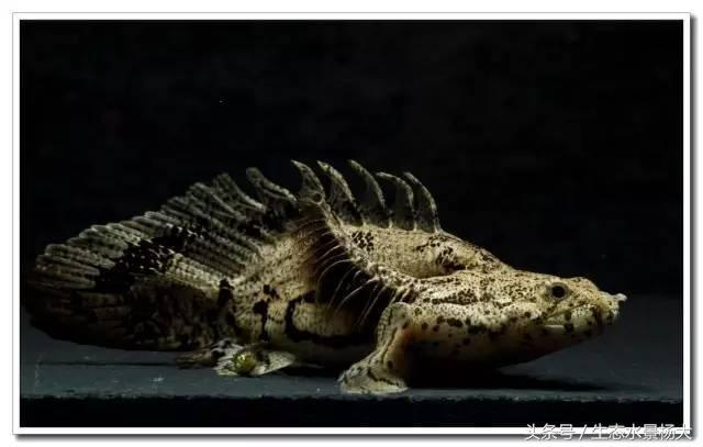 恐龍魚 名副其實的活化石 - 每日頭條