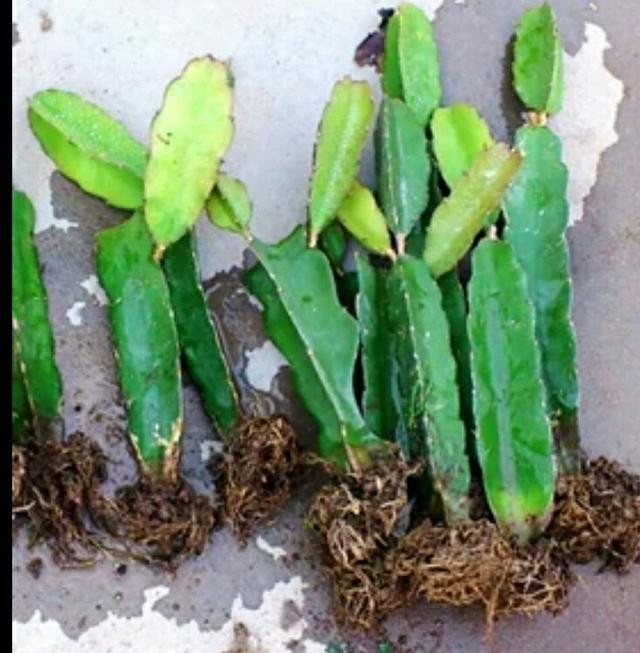 教你怎樣在家中栽培火龍果 - 每日頭條