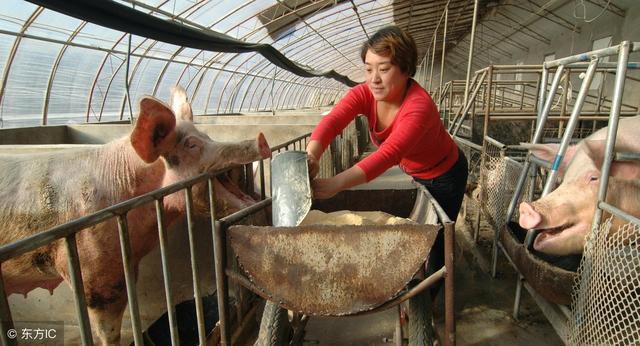 養豬場提升能繁母豬繁殖能力的綜合技術措施 - 每日頭條