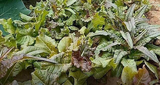夏天種什麼不用發愁。這種生菜耐熱好。長得快。能採收好幾個月 - 每日頭條