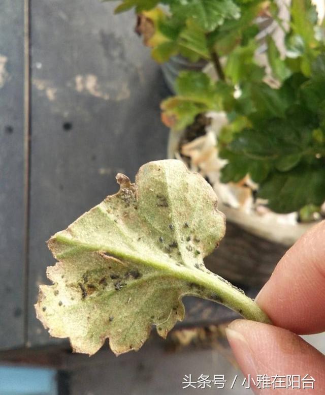 花兒長了蚜蟲,用這三個方法來防治,蚜蟲來了再也不用愁 - 每日頭條
