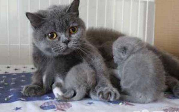 藍貓懷孕兩個月,生出3隻小奶貓,朋友看到其中一隻笑的合不攏嘴 - 每日頭條