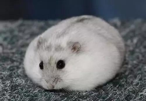 倉鼠居然分20個品種?最萌的絕對是「白熊倉鼠」。好大一隻倉鼠 - 每日頭條