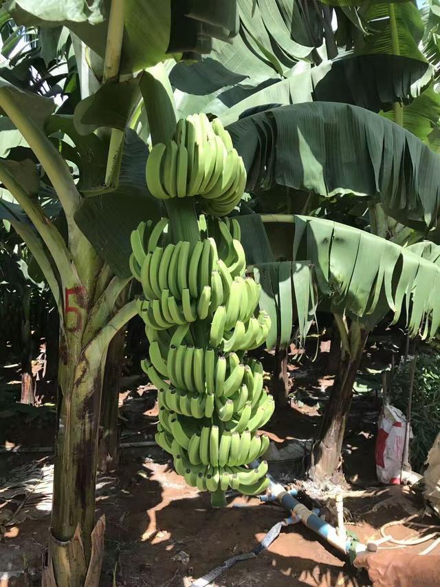 你知道香蕉是怎樣繁殖的麼? - 每日頭條