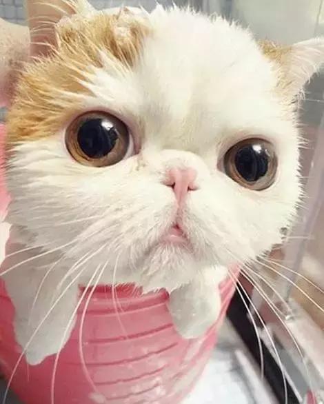 貓跟水到底有什麼仇恨?貓咪害怕洗澡?換個方法試試 - 每日頭條