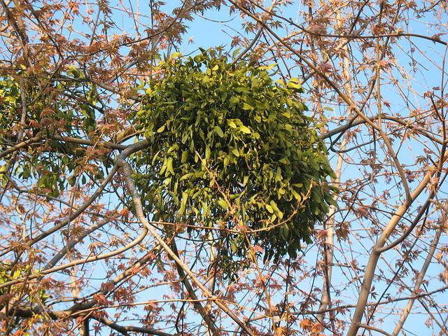 妖怪植物大揭秘:女蘿×菟絲子、槲寄生×桑寄生、神秘的檀香 - 每日頭條