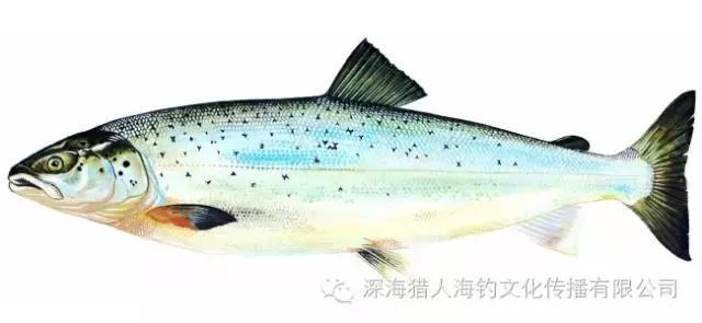 平民料理超級網紅 —— 三文魚 - 每日頭條