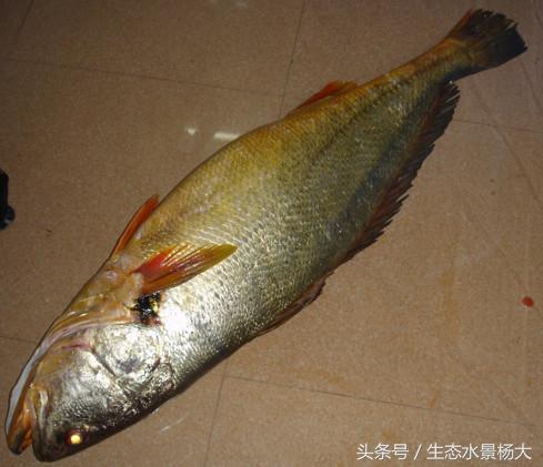 盤點世界上最貴的食用魚和觀賞魚 - 每日頭條