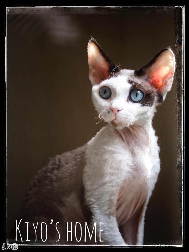 誰說只有胖胖的貓咪才好看。這些完美小V臉的貓也很美 - 每日頭條