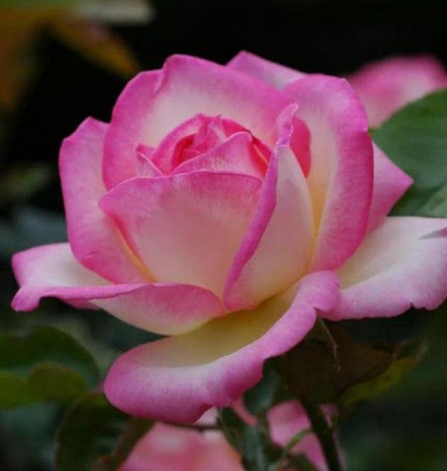 「5種花」養家裡,美得讓人毫無抵抗力,花大色艷,全年開花不斷 - 每日頭條