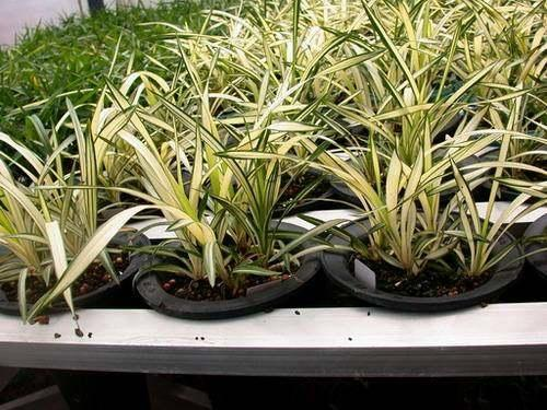 種養蘭花組培苗。做到這兩個方面。好效果等著你 - 每日頭條