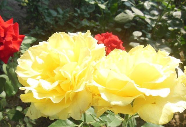 這樣養月季花。花大色艷。花期長 - 每日頭條