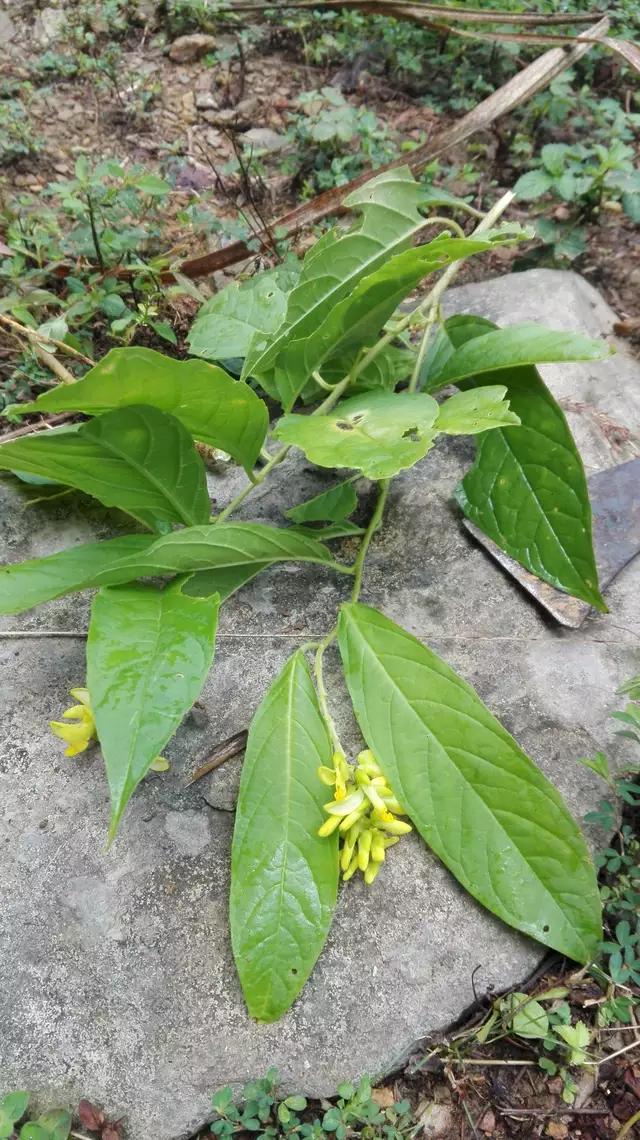 黃花倒水蓮的藥用價值 - 每日頭條
