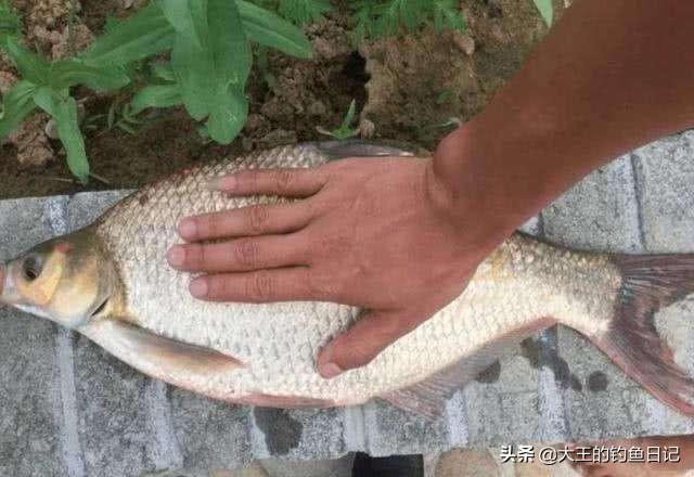 野釣大水域如何釣好鯿魚?掌握五個作釣流程。野釣鯿魚也簡單 - 每日頭條
