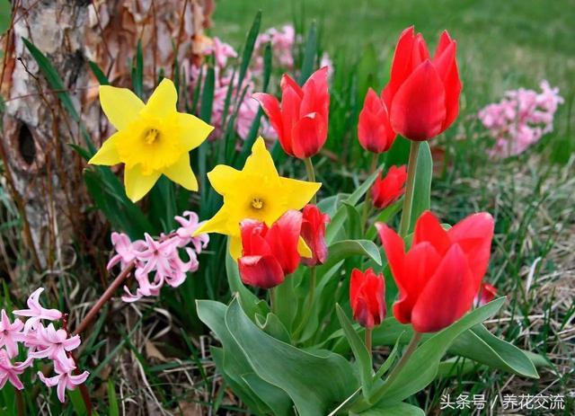 鬱金香和洋水仙有什麼不同。這些球莖花要怎麼栽種? - 每日頭條