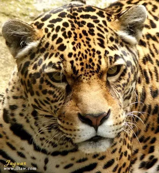 大型貓科系列-美洲豹 - 每日頭條