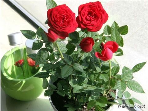 玫瑰花什麼季節開?不同顏色玫瑰花寓意是什麼? - 每日頭條