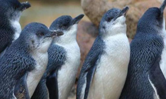澳洲58隻小藍企鵝被咬死,當局提醒市民放狗時要管好自己的寵物 - 每日頭條