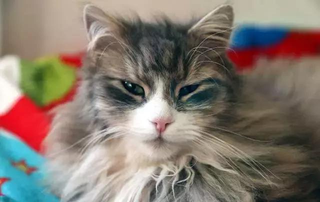 貓咪換季瘋狂掉毛怎麼辦?看了這篇文章你就知道該怎麼做了 - 每日頭條