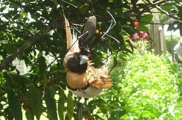 它的體型超過同類數十倍。常常捕鳥吃蛇。也被天敵當做殭屍 - 每日頭條